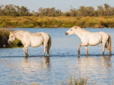 Reisgids Provence Camargue paarden