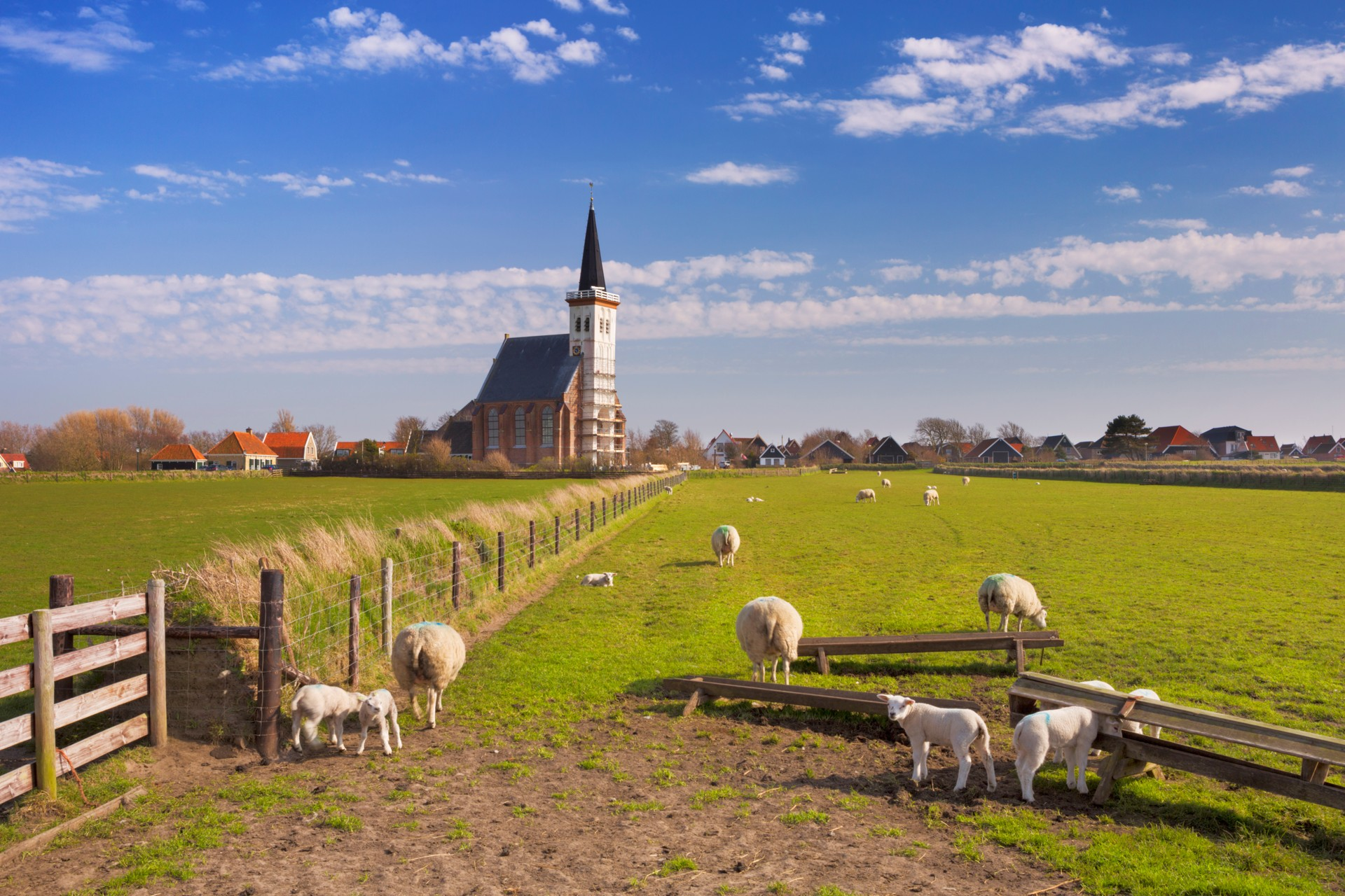 Texel kerk en schapen